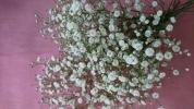 花のクローバー》切花 かすみ草 5本