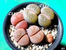 リトープス 富貴玉ミックス種子 20粒 Lithops hookeri 送料無料 リトープス種子 メセン科