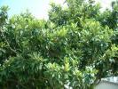 ★元気なびわの葉100枚以上★無農薬自宅採取★がん対策ビワの葉