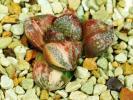 多肉植物 ハオルチア ピクタ錦 HM-1