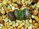 多肉植物 ハオルチア 石井紫オブツーサ
