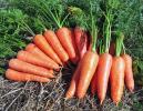【自然農】筑摩五寸人参 自家採種約300粒  無肥料無農薬