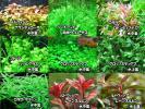 水中葉が多数で簡単・入門種水草10種セット【赤系美種・グロッソ】 無農薬で安心