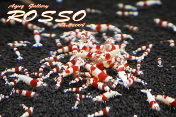 ◆◇【ROSSO】レッドビーシュリンプ 50匹 死着補償5匹◇◆