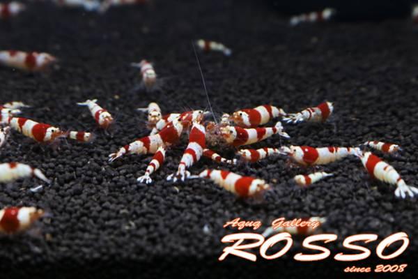 ◆◇【ROSSO】レッドビーシュリンプ 50匹 死着補償5匹◇◆_画像2