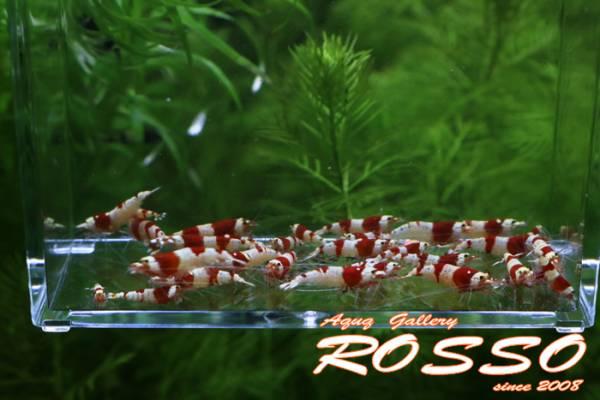◆◇【ROSSO】レッドビーシュリンプ 50匹 死着補償5匹◇◆_画像3