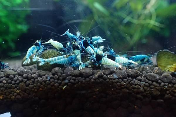 ★☆ブルーシャドーモスラ13匹+保証2匹 計15匹【HAL_Shrimp】☆★