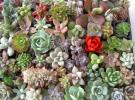 ☆多肉植物カット苗・エケベリア等74種・リースや寄せ植え等に~♪♪