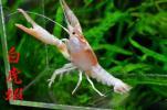 白虎蝦★最初で最後の超極上希少カラーパターンゴースト☆7.4cm♂☆デカ爪個体★激渋