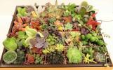 1円〜「今回限り!多肉植物カット苗寄せ植えD」チョコレートの空きケースにもりもり色々です♪大サービス65種*レア有*寄せ植えに