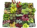 **セダム ファロ フォーム バーナティなど32種 多肉植物 カット苗 寄せ植えに♪♪