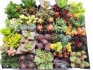 **セダム ステフコ ポトシナムなど31種 多肉植物 カット苗 寄せ植えに♪♪