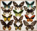 蝶 標本 トリバネアゲハ