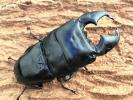 スマトラオオヒラタ ハーキュリーT血統ヴァリアント95.8mm+同腹大型極太52mm♀ペア