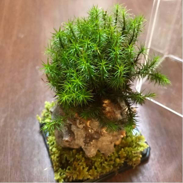 天然苔のテラリウム(C1)_画像1
