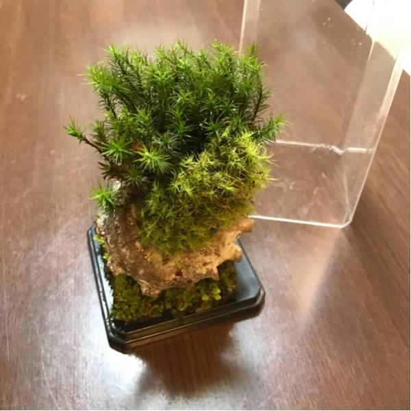天然苔のテラリウム(C1)_画像2