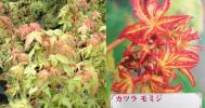 ◆紅葉・楓/モミジ・カエデ「桂(かつら)」ポット苗◆