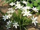 ●アマナ●山野草別名11時の貴婦人・ベツレヘムの星と呼ぶ純白  春分も過ぎ、初夏の楽しみを今から育ててみませんか!