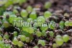 メセン コノフィツム ブルゲリ 種子約50粒(自家採取・発芽テスト済)3