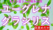 稚魚の餌 ユーグレナグラシリス(ゾウリムシ・ミドリゾウリムシ・ミドリムシ等の稚魚の餌の販売で大人気の筑豊めだかです。)