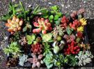 多肉植物 セダム 寄せ植え カット苗  輸入苗含む 33種+α