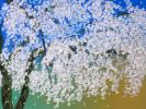 中島千波「春の日 天龍寺の枝垂桜」シルクスクリーン 真作 1000円~