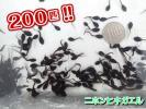 九州産 ニホンヒキガエルのオタマジャクシ 【200匹+α】 カエル かえる アズマ おたまじゃくし アロワナの餌 観察 実験 研究