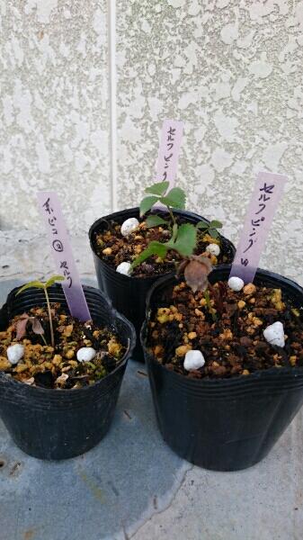 桃風心 (クリスマスローズ 王に俺はなる) Facebook 苗 地植栽培 1年半苗 24ポット 通年販売致します。_画像3