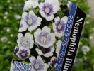 ★お花処★春花壇に群れ咲く♪ネモフィラ*ブルーベリーアイズ *3.5寸