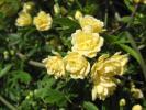 0320○ 1円スタート♪木香薔薇・モッコウバラ◇八重咲き黄花◇