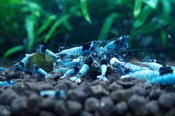 ★☆ブルーシャドーモスラ13匹+保証2匹 計15匹【HAL_Shrimp】☆★_画像3