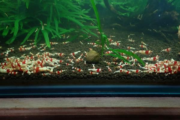 ★☆春の初心者応援レッドビーセット10匹(内抱卵1匹)+保証2匹 計12匹【HAL_Shrimp】☆★_画像2