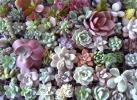 ☆多肉植物カット苗・エケベリアほか72種・リースや寄せ植え等に~♪♪
