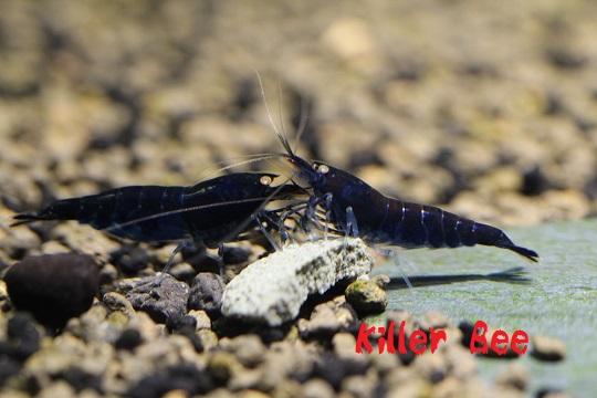 ★Killer Bee★ブラックダイヤ10匹セット!!_画像3