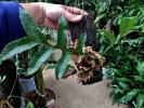 ドリナリア・ボニー Drynaria bonii
