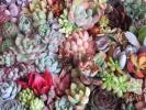 ★即決★ 多肉植物 エケベリアなど カラフル カット苗 60種類 寄せ植えなどに