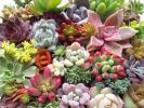 **セトーサ ファンクィーン など33種 セダム多肉植物 カ