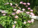 可愛いピンクの花【ミヤコワスレ】5株、花芽も出てきました、、