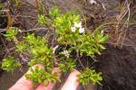 KSB:Boronia pancheriニューカレドニア驚異のミカン科渓流木本