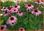 エキナセア◆20粒◆ピンクのお花♪多年草ハーブ◆送料一律62円
