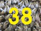 38【和蜂】にほんみつばち 分蜂群 在来種 日本蜜蜂 養蜂 は楽しい! ミツバチ みつばち キンリョウヘン ミツロウ 蜂蜜 ハチミツ 蜂蜜