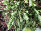 ホウオウゴケ/鳳凰苔1パック【アクアリウム・アクアテラリウム・水槽用苔・水辺の苔・ボトルテラリウムに