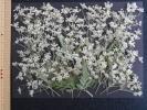 【即決◆押花素材】 ヤブジラミ ◆小さい小さい小花 ?