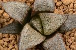 多肉植物 ハオルチア GM452選抜 ナタリー