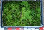 ★ タマゴケ 1パレット 1★山野草 盆栽 テラリウム コケリウム 盆栽 苔 アウアリウム 苔ボトル 流木