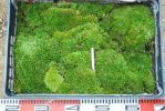 ★アラハシラガゴケ 1パレット 大量1★山野草 盆栽 下地 張り苔 テラリウム コケリウム ホソバオキナゴケ コケ シダ
