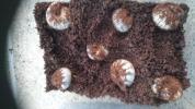 メガソマ テルシテスヒメゾウカブト 3令幼虫 7頭セット ランダム