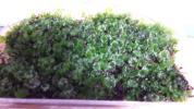 盆栽 山野草 アクアリウム テラリウム【ウチワ苔】1パック