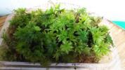 盆栽 山野草 アクアリウム 【オオカサ苔50本以上】パック詰