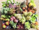 多肉植物 セダム 寄せ植え カット苗  輸入苗含む 22種 パープルヘイズ bellad inverno アメリカンチェリー 白雪ミセバヤ他